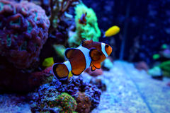 Clown fish in coral reef aquarium scene Stock Photography