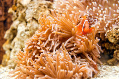 Clown fish in coral reefs Royalty Free Stock Photos