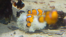 Clown fish and coral. Wild life animal. stock footage
