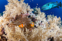 Clown fish couple with a barracuda Stock Photography