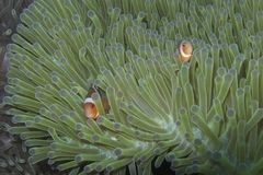 Clown Fish Couple in luminescent Sea Anemone Home off Balicasag Island, Bohol Philippines Stock Photos