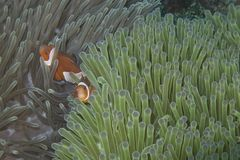 Clown Fish Couple in a Pair of Sea Anemone Stock Photo