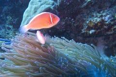 Clown fish couple in green sea anemone, Balicasag Island, Panglao, Bohol, Philippines Stock Photos