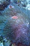 Clown fish couple in green sea anemone, Balicasag Island, Panglao, Bohol, Philippines Stock Photo