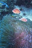 Clown fish couple in green sea anemone, Balicasag Island, Panglao, Bohol, Philippines Royalty Free Stock Photo