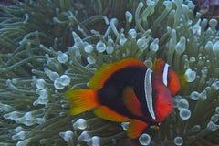 Clown fish couple in bubble sea anemone, Balicasag Island, Panglao, Bohol, Philippines Stock Photo