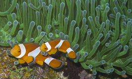 Clown fish couple in green sea anemone, Balicasag Island, Panglao, Bohol, Philippines royalty free stock photos