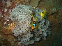 Clown Fish d'épave de Giannis D image libre de droits