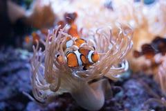 Clown Fish in de marine van het installatieleven stock fotografie