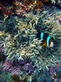 Clown Fish emerges from the Anemone Stock Photo