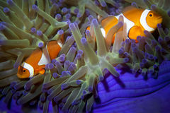 A clown fish family close up portrait. On blue anemone royalty free stock images