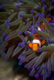A clown fish family close up portrait. On blue anemone royalty free stock photos