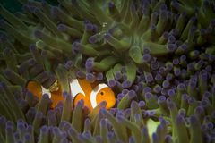A clown fish family close up portrait. On blue anemone royalty free stock photography