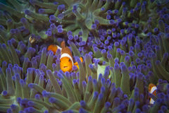 A clown fish family close up portrait. On blue anemone stock images