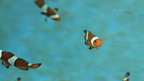 Clown fish in farm stock footage