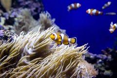 Clown Fish. Stock Photography