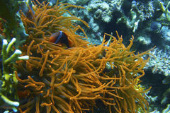 Clown Fish in Fluorescent Orange Sea Anemone off Padre Burgos, Leyte, Philippines Royalty Free Stock Photography