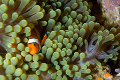 Clown fish in green anemone. A clown fish seeks shelter in a green anemone Stock Images
