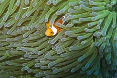 Clown fish in green and blue sea anemone off Balicasag Island, Bohol, Philippines Royalty Free Stock Image