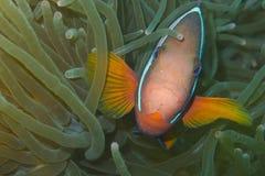 Clown fish in green sea anemone, Balicasag Island, Panglao, Bohol, Philippines. Taken off Balicasag Island, off Bohol Island in the Philippines. Clown fishes Royalty Free Stock Image