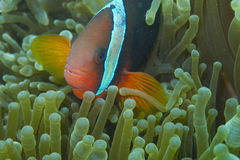 Clown fish in green sea anemone, Balicasag Island, Philippines. Taken off Balicasag Island, off Bohol Island in the Philippines. Clown fishes live protected by Royalty Free Stock Images