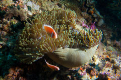Clown fish guards. Two clownfish guard an anemone as it closes for the night Stock Photo