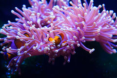 Clown fish hiding in anemone. Two playful clown fish hiding inside anemone taken at an aquarium Royalty Free Stock Images