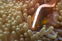 An clown fish hiding into an anemone with a shrimp. While looking at you stock photography