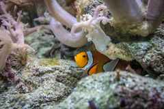 Clown fish hiding Royalty Free Stock Photography