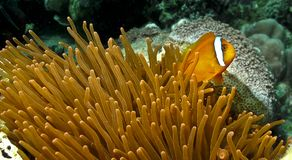 Clown fish and his anemone stock photography