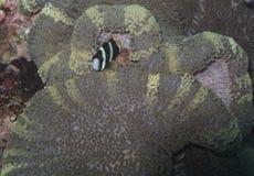 Clown Fish i den sällsynta anemonen, Balicasag ö, Bohol, Filippinerna Arkivfoto