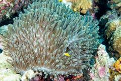 Clown fish inside green anemone Stock Photo