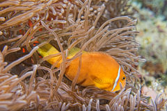 Clown fish inside pink purple anemone Royalty Free Stock Image