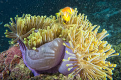 Clown fish inside pink purple anemone Royalty Free Stock Images