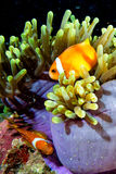 Clown fish inside pink purple anemone Royalty Free Stock Photo