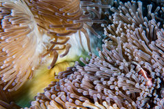 Clown fish inside red anemone in indonesia Stock Photos