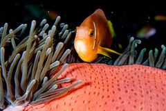 Clown fish inside red anemone in indonesia Royalty Free Stock Photo
