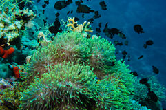 Clown fish with its young in the anemone site Stock Image