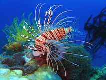 Clown fish or the lion fish. The beauty of underwater world diving in Sabah, Borneo. Marine life, or sea life or ocean life, is the plants, animals and other stock photography