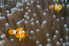 Clown fish while looking at you from anemone Royalty Free Stock Image