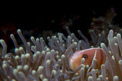 An clown fish looking at you in Cebu Philippines. On black background stock image