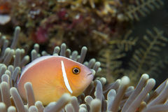 An clown fish looking at you in Cebu Philippines. On black background royalty free stock photography