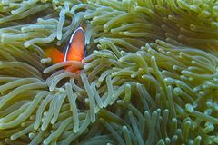 Clown Fish in Luminescent Sea Anemone off Padre Burgos, Leyte, Philippines. The diving around the small but vibrant town of Padre Burgos, is a real paradise for Stock Photos