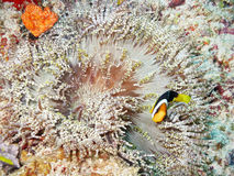 Clown Fish and maldivian anemone Stock Images