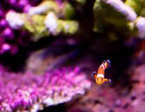 Clown fish In the midst of corals royalty free stock images