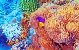Clown fish near colorful corals Royalty Free Stock Photography