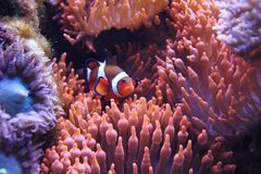 Clown fish (nemo) Royalty Free Stock Image