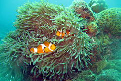 Clown Fish Nemo Royaltyfri Bild