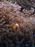 Clown fish - Nemo Royalty Free Stock Photos