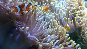 Clown fish( nemo ) and sea anemone, full HD. stock video